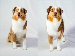 westminster bluetick coonhound 2016 meet the 7 breeds debuting at westminster 140 american kennel club