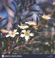 australis plants australian native plants flora flowering plant flower australian australia white bush