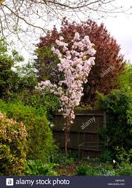 Flowering Cherry Shrub - japanese flowering cherry prunus amanogawa stock photo royalty