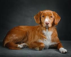 afghan hound saddle afghan hound top animal u0026 pet photographer attor studio toronto