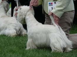 images of westie hair cuts file westie azreael jpg wikimedia commons