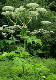 uk native pond plants giant hogweed a new contribution to understanding this plant in