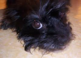 affenpinscher terrier mix mixed breed dogs and designer dogs the best of the best