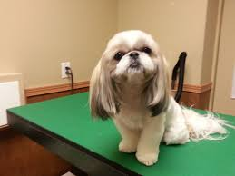 list of shih haircut shih tzu haircut pet trim shih tzu groom annie pinterest
