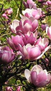 337 best magnolia images on pinterest magnolia flowers and shrubs