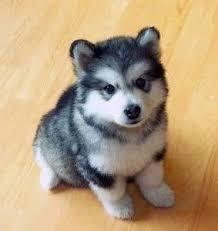 australian shepherd husky mix for sale best 25 puppies for sale ideas on pinterest baby huskies for