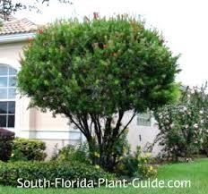 cluster bottlebrush tree