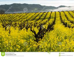 organic grape vineyard in spring stock photo image 58495560