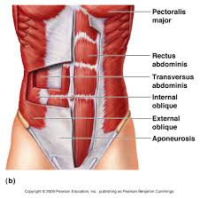 Picture Of The Abdomen Organs Muscle Anatomy