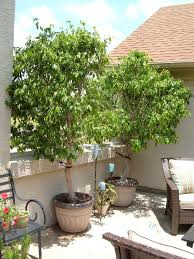 ficus tree review ficus tree is for ficus