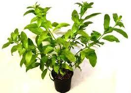 Fragrant Night Blooming Plants - bring home this u0027night queen u0027 make u feel same morning