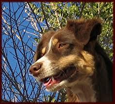 australian shepherd female names home