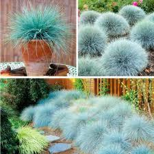 blue fescue grass seeds festuca glauca perennial hardy