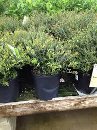 Eugenia Topiary This Was A U201cginseng U201d Ficus Now Please Stop Saying They U0027re Not