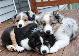 australian shepherd dog puppies australian shepherd breeders virginia