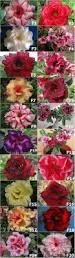 best 25 desert rose ideas on pinterest desert rose plant
