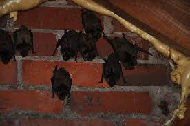 removing bats rrom an attic bat extermination
