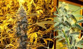 Recovering Cannabis Plants From High by Fim Your Way To Multiple Colas Grow Weed Easy