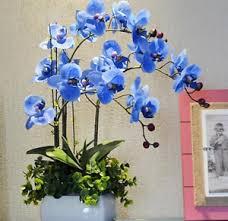 blue orchid flower blue orchid bonsai flower 100 seeds blue butterfly orchidea