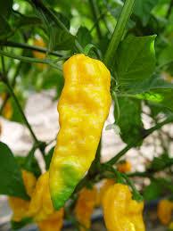 ghost pepper bhut jolokia chileplants