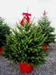 potted christmas tree potted living christmas trees town and country gardens