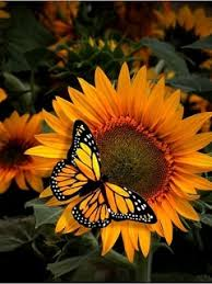 free sunflower and butterfly mobile wallpaper contributed