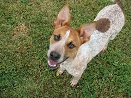 australian shepherd queensland heeler mix puppies our current foster dog s