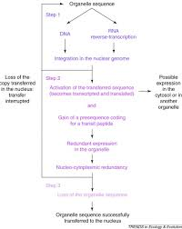reducing the genome size of organelles favours gene transfer to