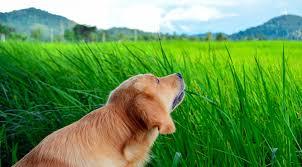 why do dogs eat grass rover com