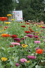 Cut Flower Garden by Best 25 Zinnia Garden Ideas On Pinterest Zinnias Cut Flowers