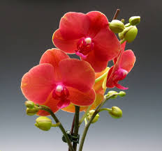 phalaenopsis surf song ox gold orange orchid flower delivery yelp