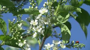 Cherry Tree Fruit - flowers of the cherry tree cherry blossom tree pollination fruit