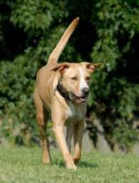 bluetick coonhound dog meet corin graduate a petfinder adoptable bluetick coonhound