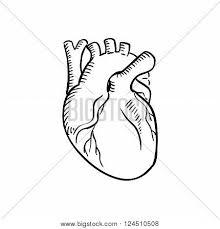 human heart outline sketch vector u0026 photo bigstock