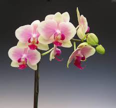 phalaenopsis minho princess sj orchid flowers orchid flower