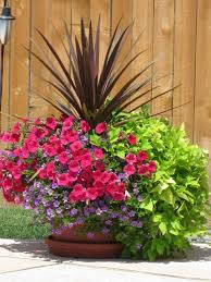 flower pots for around the pool love the sweet potato flower