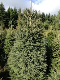 norway spruce christmas tree picea abies grown in denmark