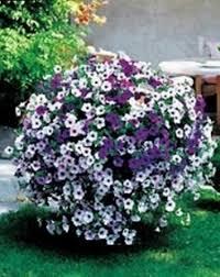 canula fiore erica calluna vulgaris domande e risposte fiori