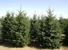 christmas christmas trees evergreens real at walmart for sale