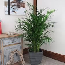 buy large areca palm tree 1 20 1 30m beautiful quality indoor