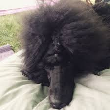 standard poodle hair styles 15 best my poodle s hair style images on pinterest hair cut
