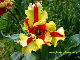 Images Of Tulip Flowers - tulip pictures pictures of tulip flowers