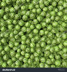 Sweetgreen Many Big Sweet Green Watermelons One Stock Illustration 272968736