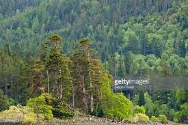scots pine stock photos and pictures getty images