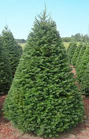 noble fir christmas tree christmas trees olympic christmas trees