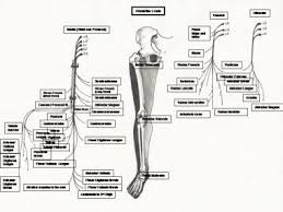 peripheral nervous system anatomy overview gross anatomy