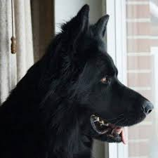 belgian shepherd for sale in lahore black german shepherd dog for sale serious buyer only contact me