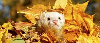 ferret food a recipe for success vetbabble