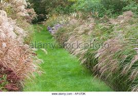 ornamental grasses border miscanthus sinensis stock photos