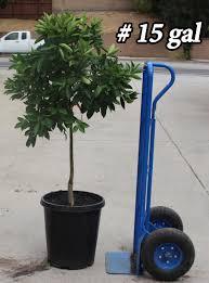 buy washington navel orange trees